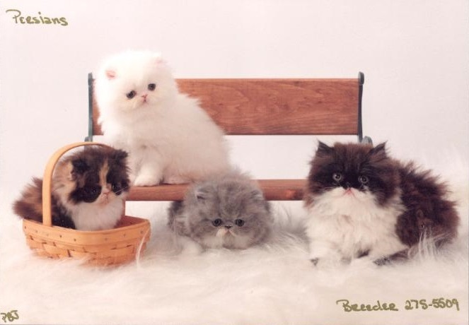 Persian Patch Kittens
